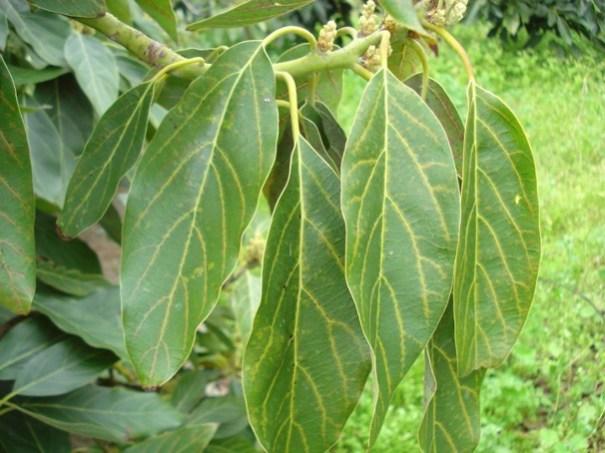 Daños de Olygonichus perseae en hojas de aguacate más acentuados en los nervios principales. Fuente: Hernández, E. (2017) ICIA