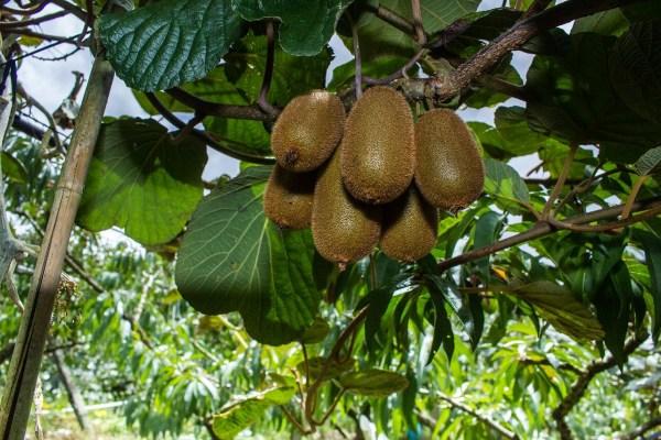 Árbol de kiwi