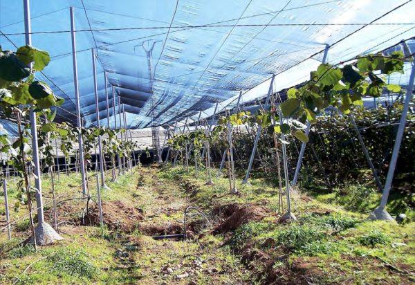 Plantación de kiwis con malla para aumentar el sombreado