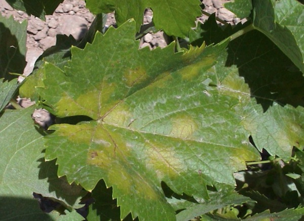Manchas amarillas en hojas causadas por mildiu