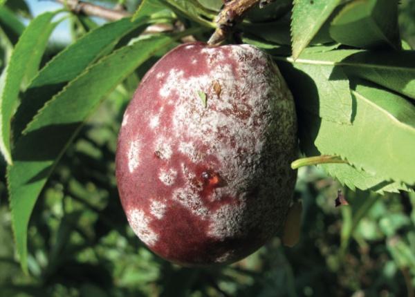 Manchas blancas de aspecto algodonoso en nectarina producidas por el oidio