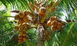 produktivitas pohon kelapa