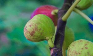 buah tin merah
