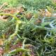 rumput laut madura