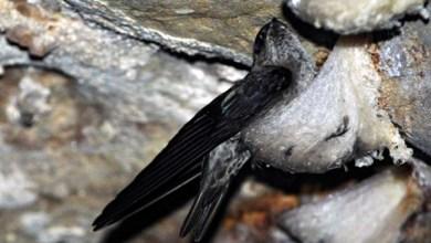 Photo of Tips Ampuh Burung Walet Bersarang Kembali Di Rumah Walet