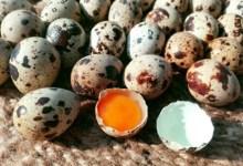 Photo of Produksi Telur Puyuh dapat Maksimal, Berikut Rahasianya