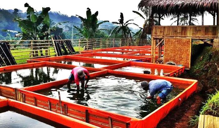 Cara Budidaya Ikan Lele Cepat Panen Dalam Kolam Terpal