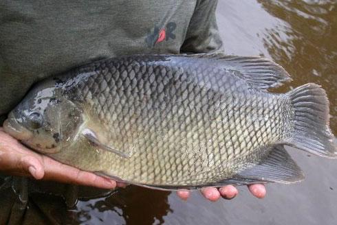 Cara Modern Ternak Ikan Gurame Cepat Besar Cepat Panen