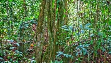 Photo of Bajakah Obat Kanker Terbaik Yang Ada di Hutan Kalimantan Suku Dayak