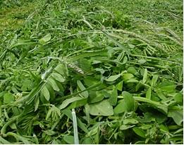 Tritimix cultivos forrajeros
