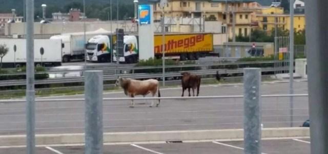 mucche autostrada1