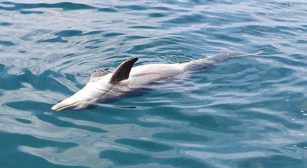 delfino 1