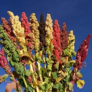 agrobiodiversidad quinua