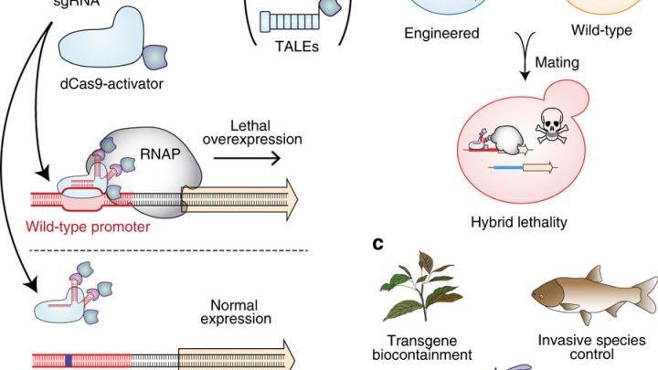 Incompatibilidad sintética, una nueva forma de evitar que los organismos modificados genéticamente e inalterados produzcan descendencia