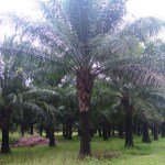 INVESTMENT OPPORTUNITY IN OIL PALM