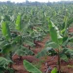 Profitable Plantain Farming