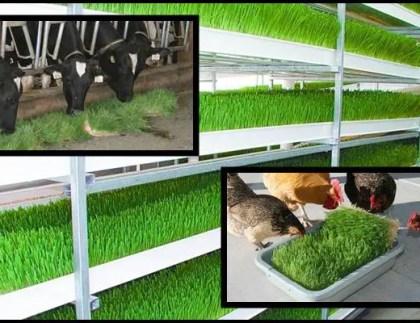 como se produce forraje verde hidroponico