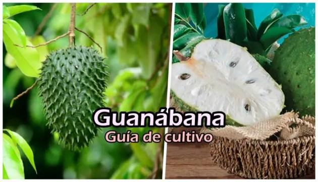 Manual de cultivo de guanábana