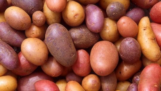 Perlukah seleksi ulang pada umbi kentang ?