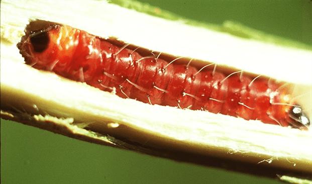 Penggerek Batang Tanaman Kakao (Zeuzera coffear)