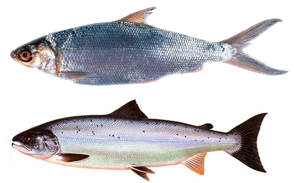 bandeng-salmon
