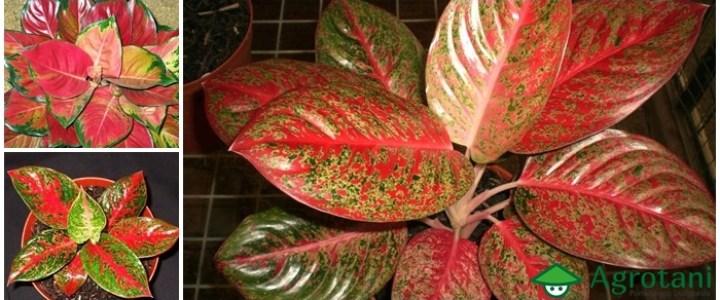 Cara budidaya tanaman Aglaonema dengan mudah dan cepat