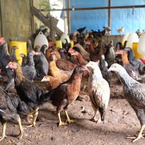 Cara Meningkatkan Produksi Telur Ayam Kampung