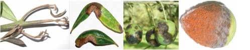 sintomas da gafa da oliveira