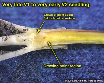 Growing point region of V1 corn seedling