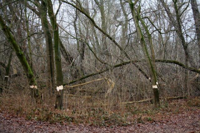 5-Halle Pulverweiden Südwestteil Geringelte Bäume Eschenahorn Blick Nach Südwesten