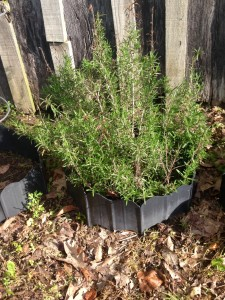 Madre's Rosemary plant, right out my back door! :)