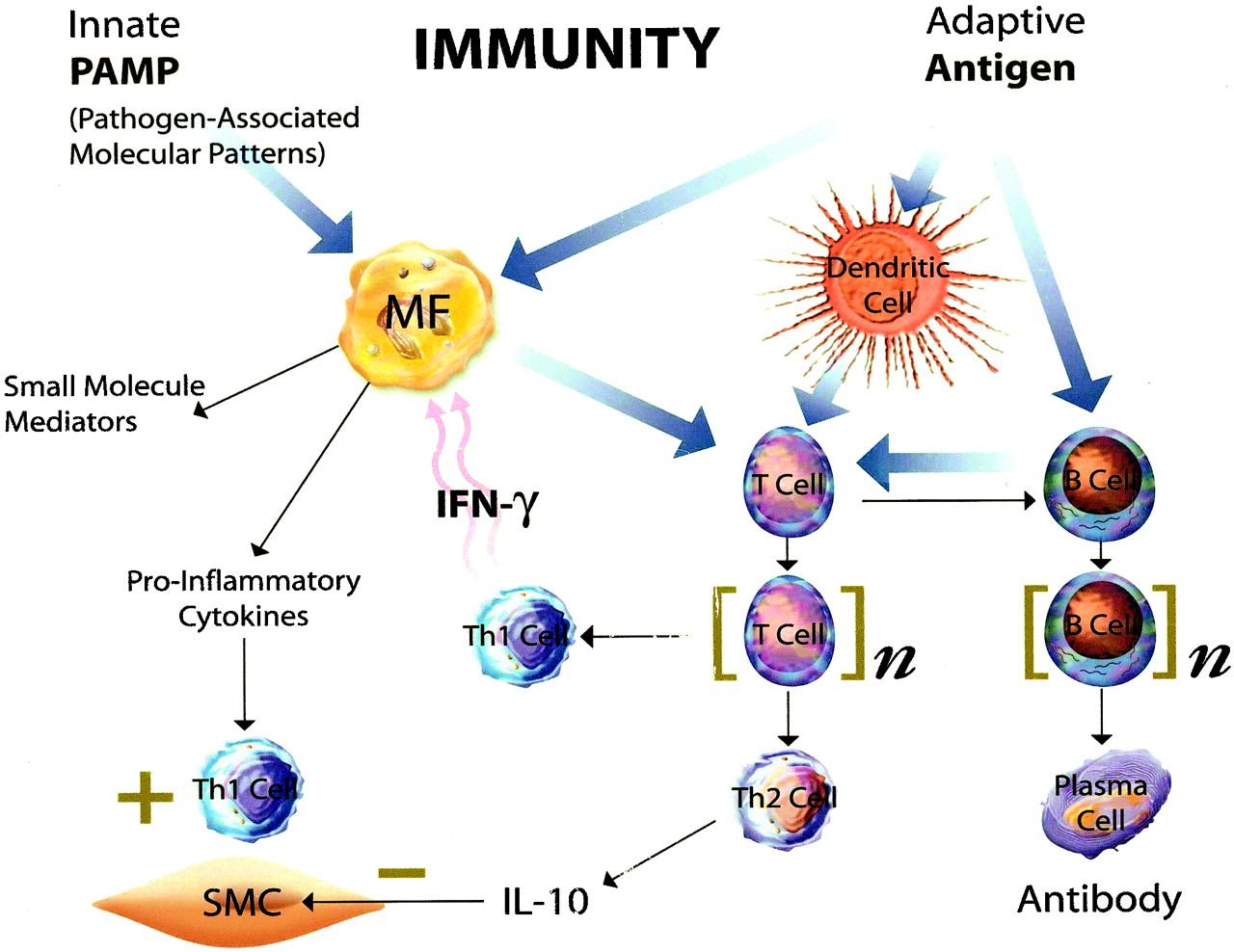 Innate And Adaptive Immunity In The Pathogenesis Of