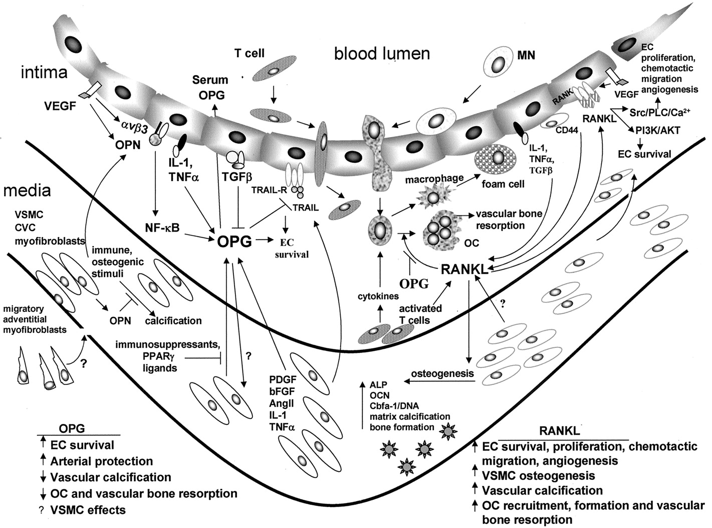 Regulation Of Vascular Calcification By Osteoclast