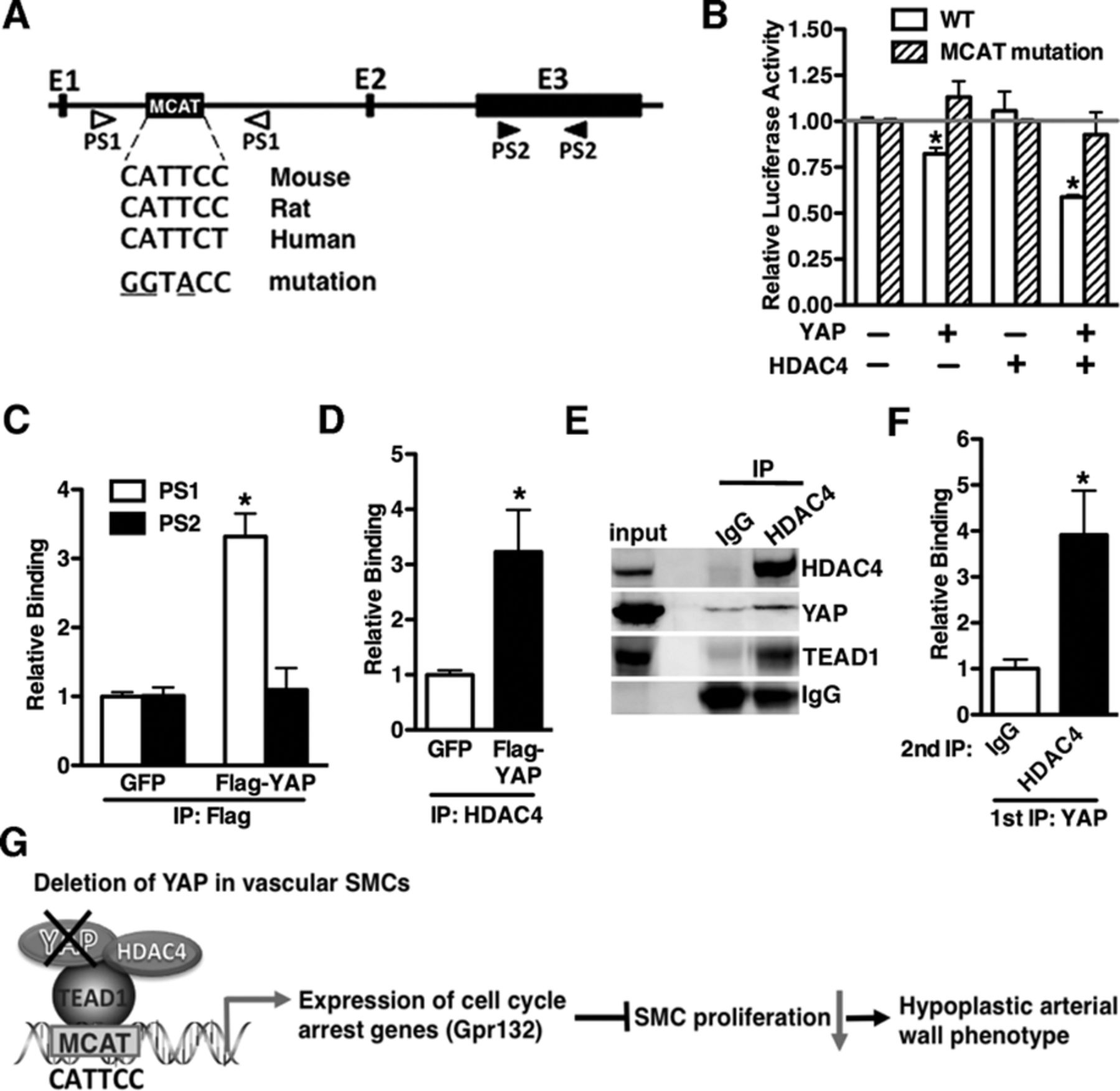 Deletion Of Yes Associated Protein Yap Specifically In
