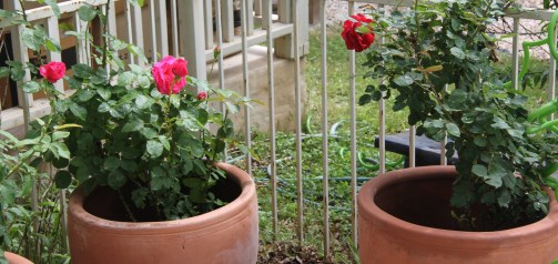 dalton roses crop2