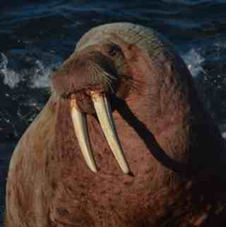 When Wally the Walrus came to Wick