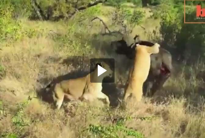 بالفيديو.. ثور ينتصر على أسدين بمعركة استمرت 6 ساعات