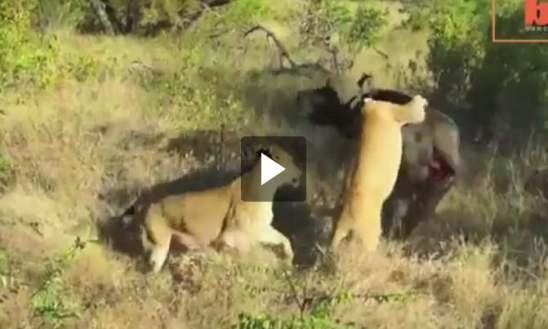 فيديو ثور ينتصر على أسدين
