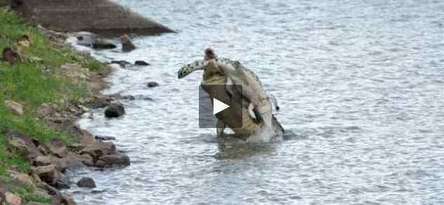 بالفيديو تمساح يفترس تمساح أخر بشكل وحشي