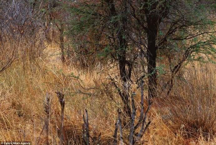 صور ظبي يتخفّى بين النباتات
