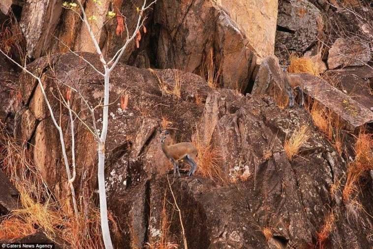 صورة غزالين على جبل صخري