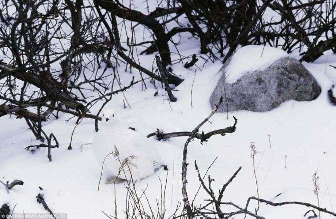 """صورة طائر الويلو """"willow ptarmigan"""" يستغل اللون الابيض للثلج للتخفي"""
