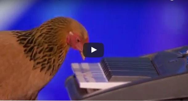 فيديو دجاجة تعزف البيانو ببرنامج للمواهب البريطانية شاهد الدجاجة الموسيقية الخارقة !!