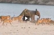 فيديو صغير الفيل يتغلب على 14 اسد بشجاعة وذكاء باهر شاهد هرقل الفيل الصغير