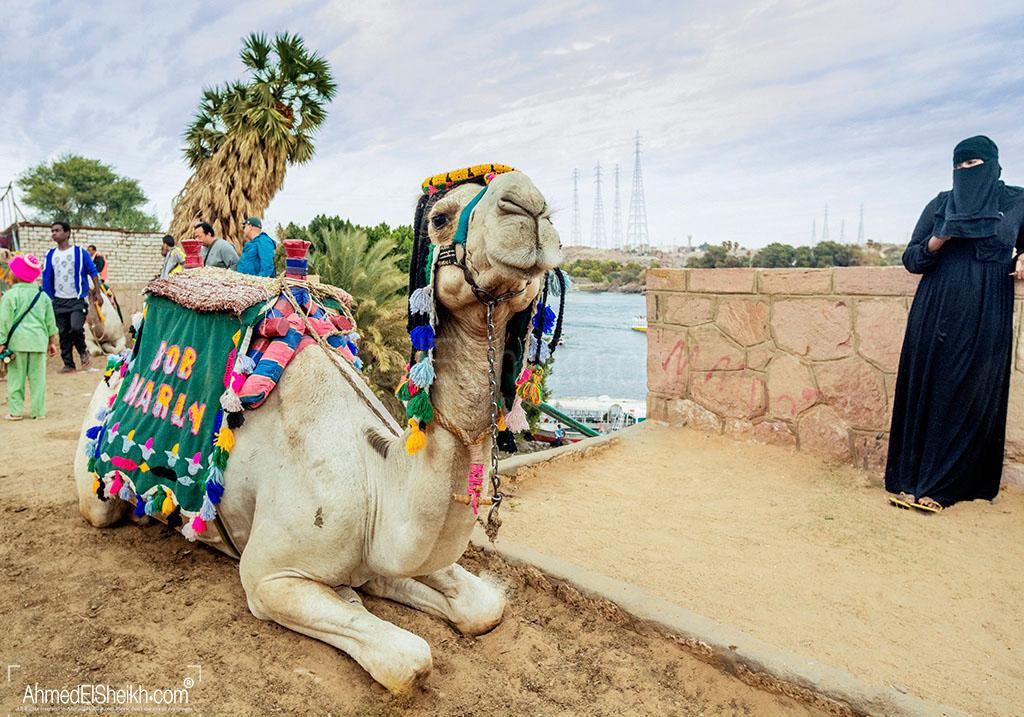 Camel in Gharb Soheil