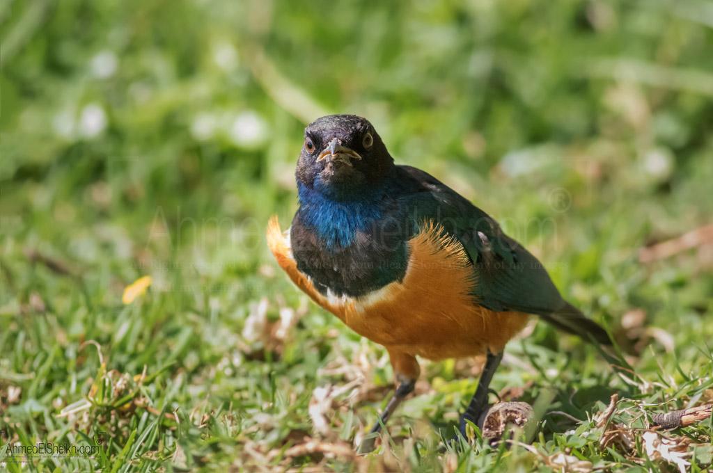Superb Starling - Naivasha