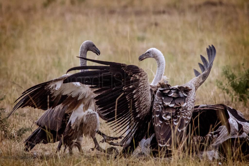 Griffon Vulture - Masai Mara - نسر جريفون