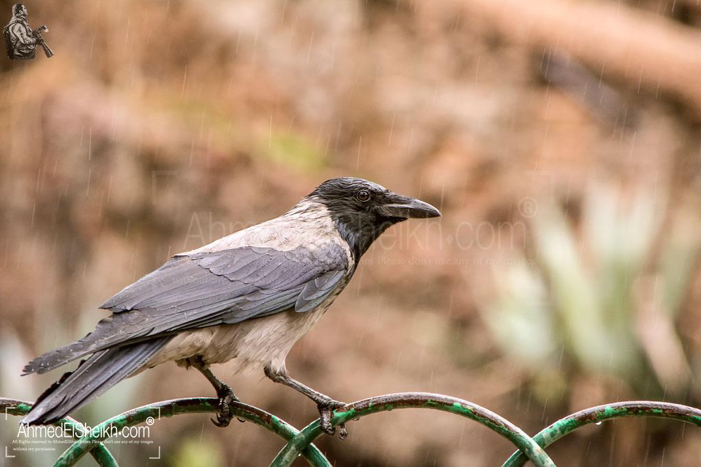Hooded Crow - غراب مقنع