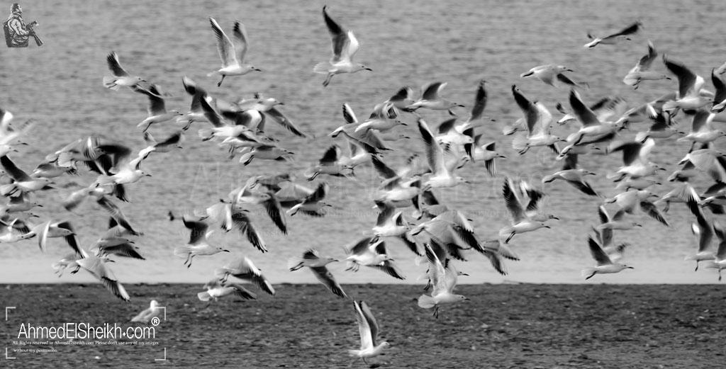 Slender Billed Gull - نوارس مستدقة المنقار