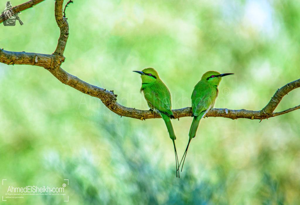 Little Green Bee Eater Couple - الوروار الأخضر الصغير